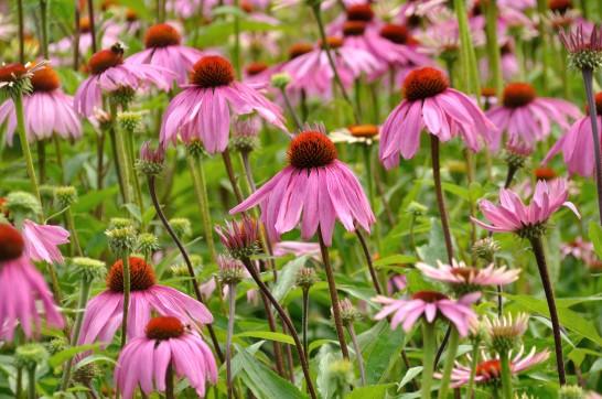 Echinacea: Hausmittel für das Immunsystem